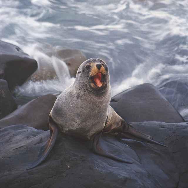 lobo marino en Kaikoura NZ