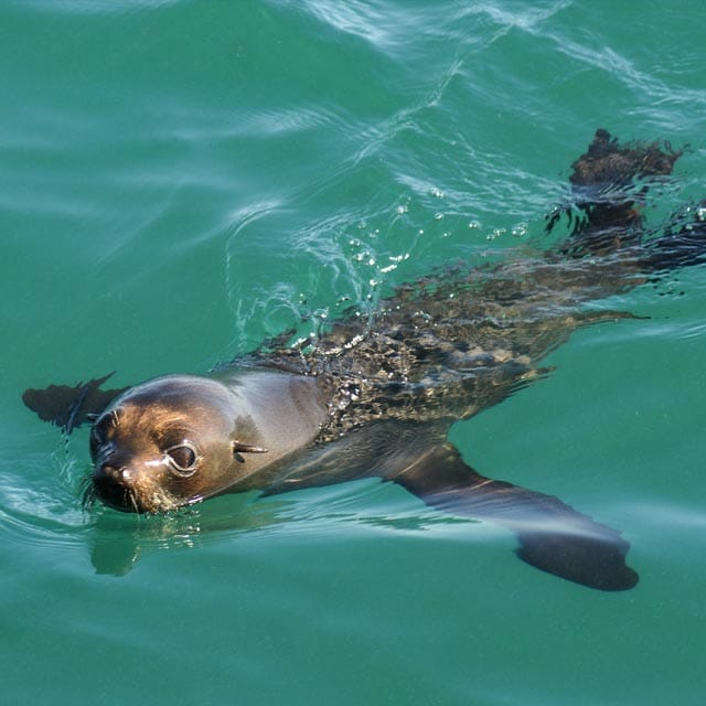 León marino - Nueva Zelanda en Familia
